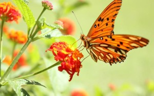 animals_widewallpaper_orange-butterfly_60165