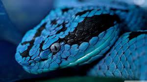 blue beddysnake