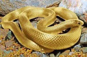 golden-snake