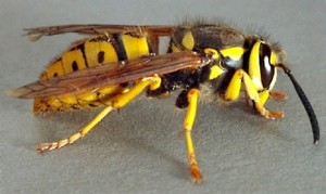 yellowjacket-300x179