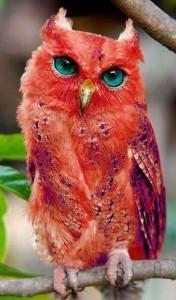 quadling owl